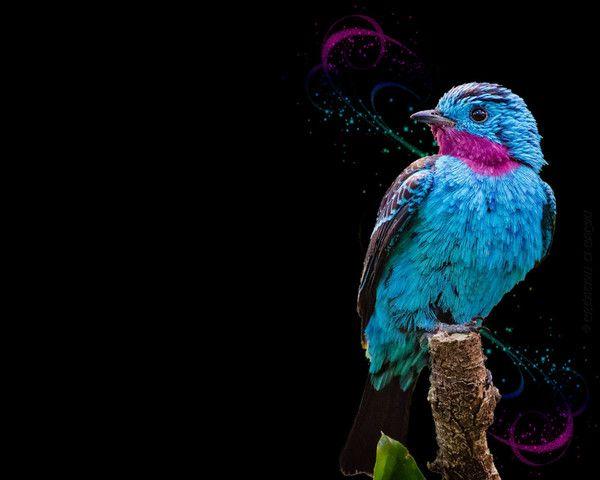 Fond cran magnifique oiseau bleu for Magnifique fond ecran
